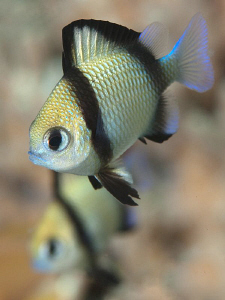 Reticulated dascyllus, Tulamben by Doug Anderson